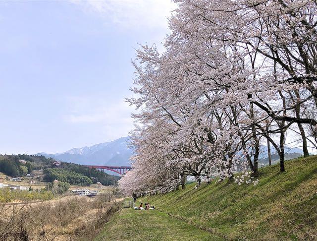 落合中学桜並木は八分咲き、お花見日和。 border=