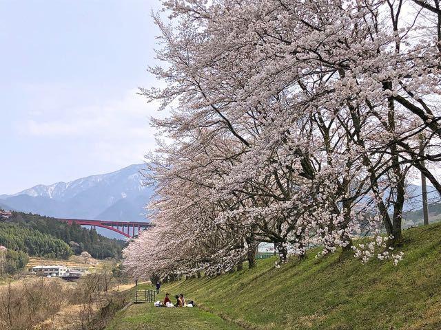 落合中学桜並木は八分咲き、お花見日和。