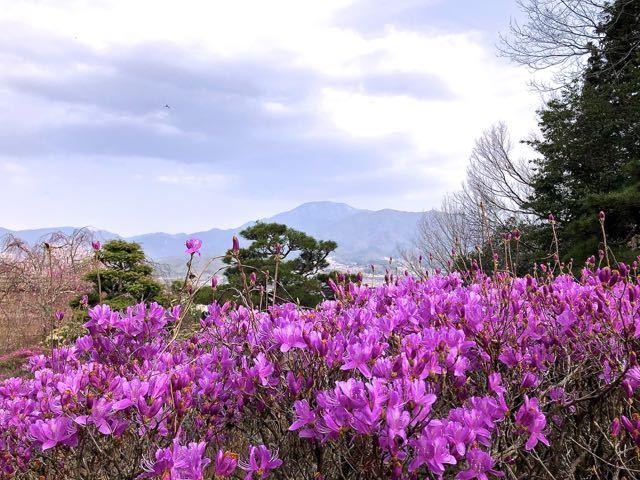 夜がらす山荘 長多喜、一番咲きのミツバツツジと恵那山。 border=