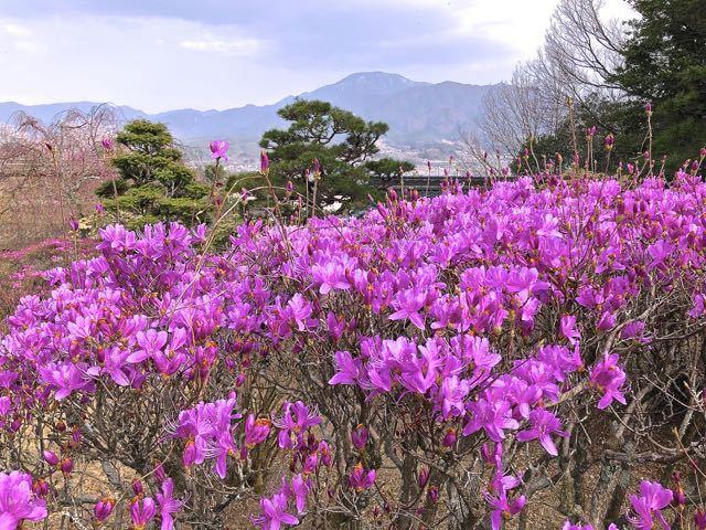 夜がらす山荘 長多喜、一番咲きのミツバツツジと恵那山。