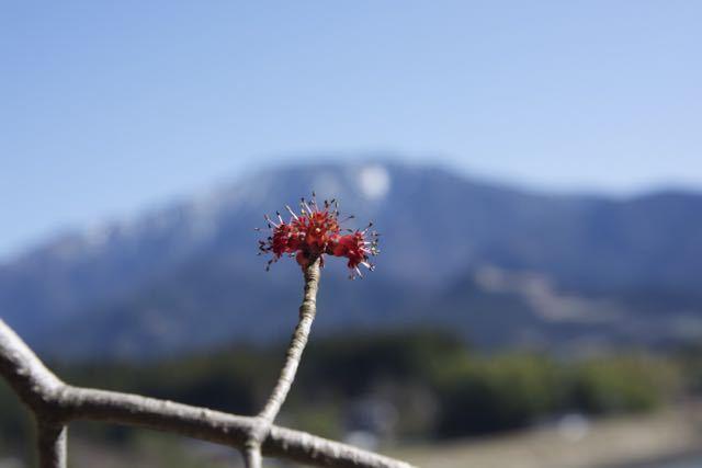 馬籠梵天郷のハナノキ♂花と恵那山