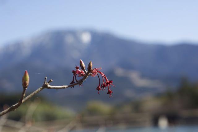 馬籠梵天郷のハナノキ雌花と恵那山。