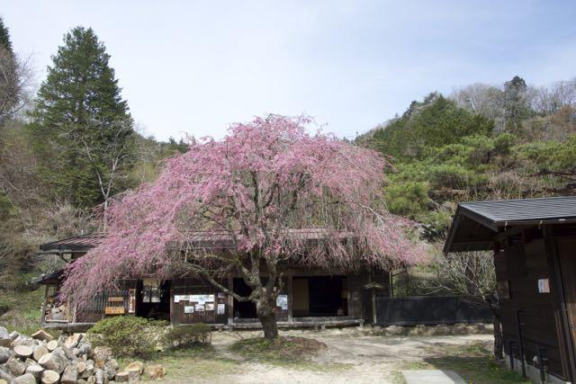 中山道馬籠峠、一石栃立場茶屋の枝垂れ桜。 border=
