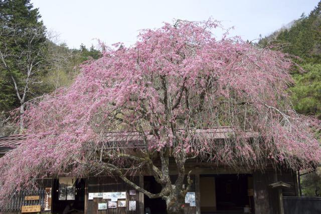 中山道馬籠峠、一石栃立場茶屋の枝垂れ桜。