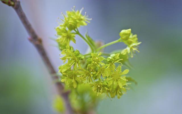 イタヤカエデの鮮やかな黄緑色の花