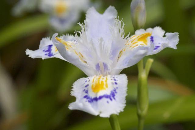 シャガは漢字で射干、著莪、胡蝶花、アヤメ科です。
