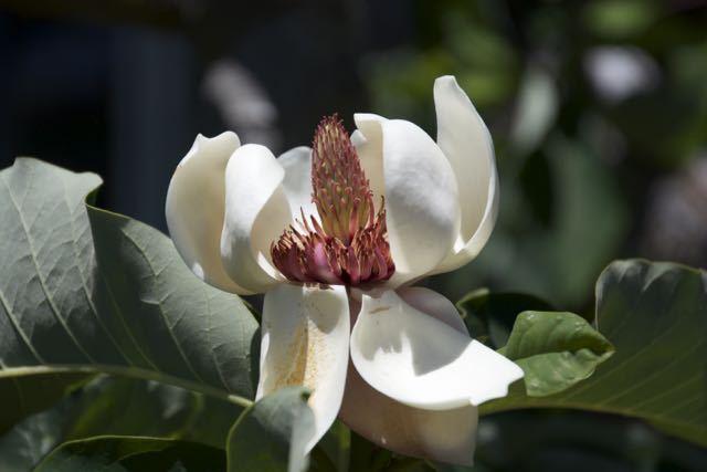 珍しいウケザキオオヤマレンゲ(受咲大山蓮華)