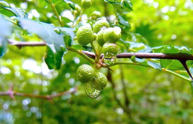 実山椒の旬は短く、保存は長く。 border=