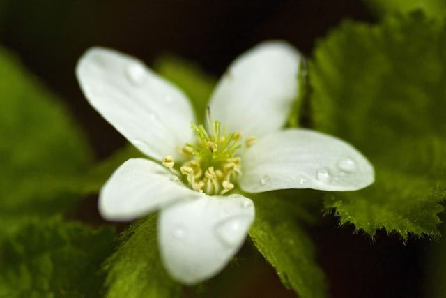 コバノフユイチゴ(小葉の冬苺)の花、別名マルバフユイチゴ。