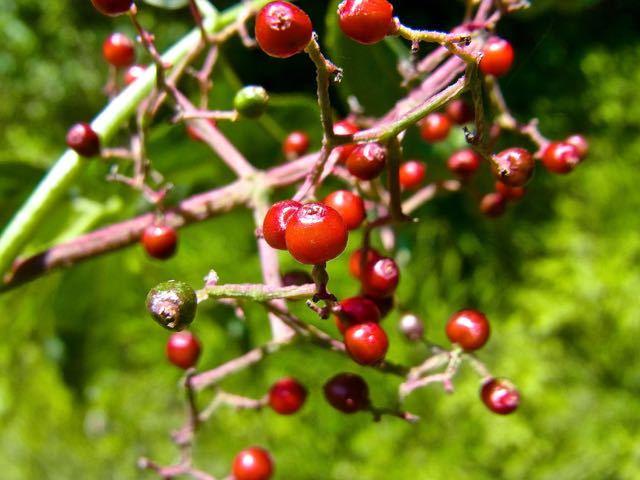 ニワトコの赤い実、ニワトコは恵那山麓で沢山見られる。 border=