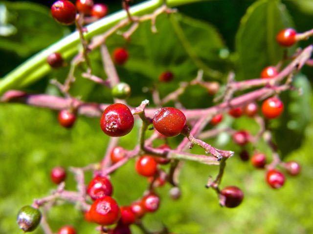 ニワトコの赤い実、ニワトコは恵那山麓で沢山見られる。