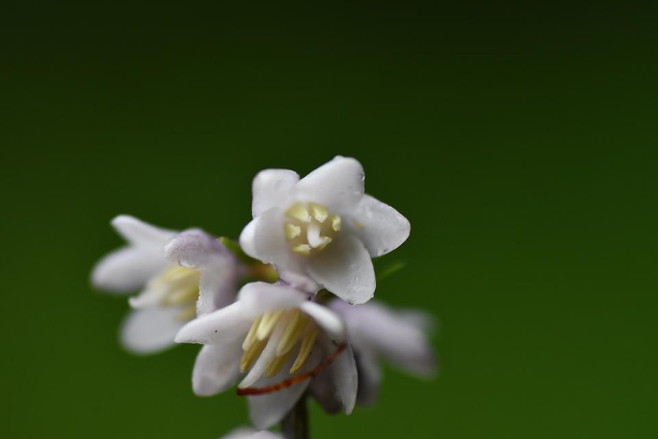 ジャノヒゲの花咲いた。 border=