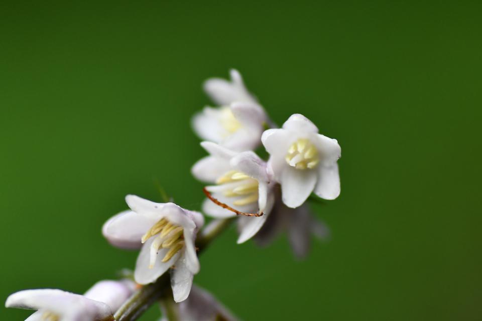 ジャノヒゲの花咲いた。