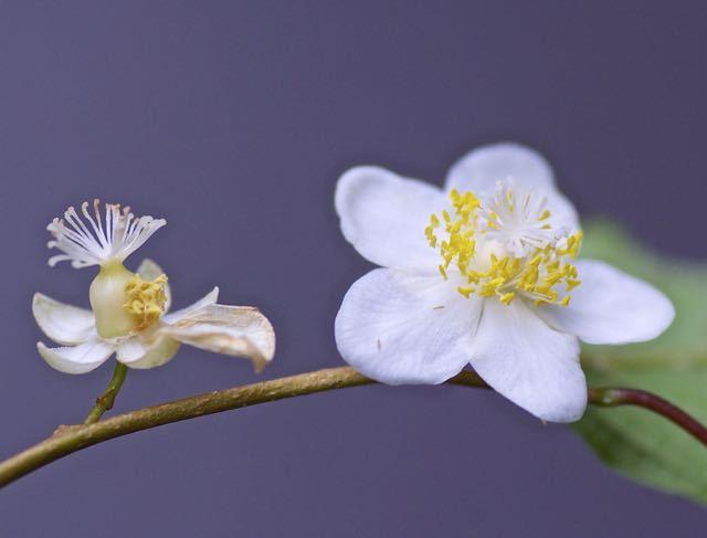 マタタビの雌花と両性花