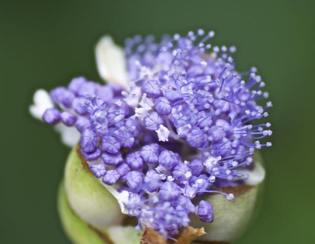 アジサイ科の殿はタマアジサイ、蕾がまさに玉です。