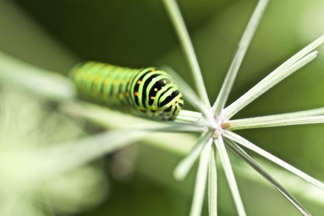 シラネセンキュウの花をムサボル腹ぺこ芋虫