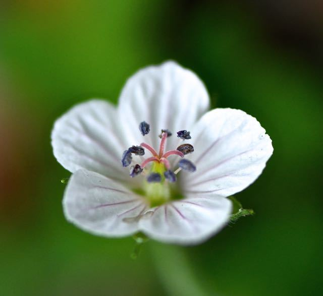 ゲンノショウコの白花。 border=
