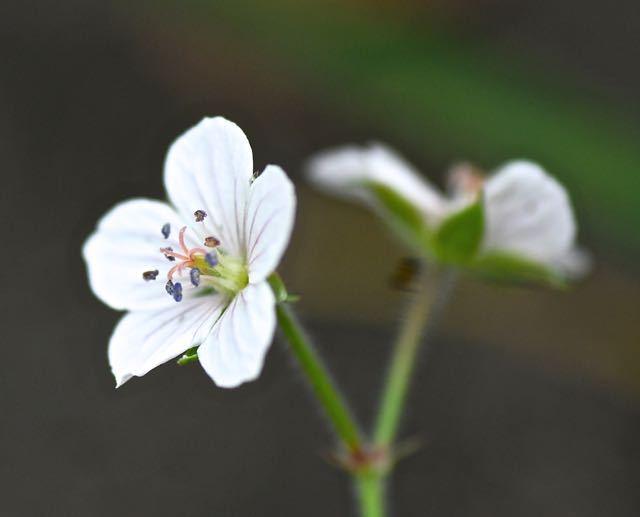 ゲンノショウコの白花。