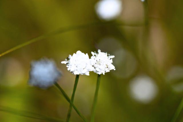 シラタマホシクサの別名はコンペイトウグサ。