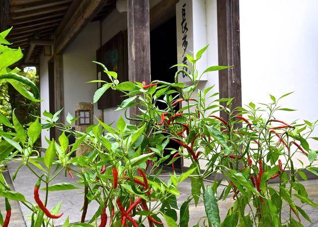 アジメコショウは岐阜県伝統野菜、中津川市福岡特産の唐辛子、唐胡椒。