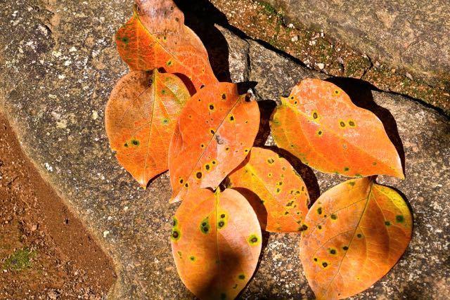 この秋一番落ち葉、長多喜栗の間の石畳。 border=