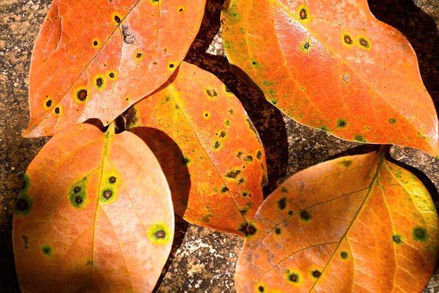 この秋一番落ち葉、長多喜栗の間の石畳。