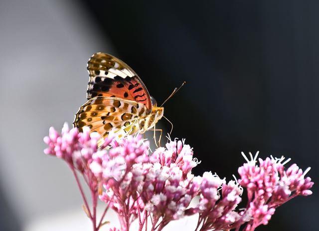 ツマグロヒョウチョウはフジバカマの吸蜜中。 border=