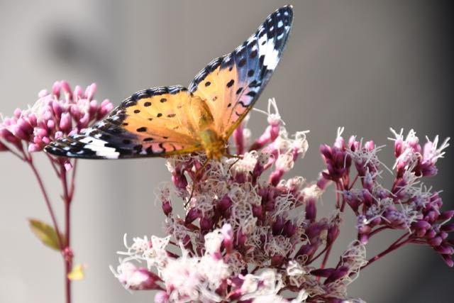 ツマグロヒョウチョウはフジバカマの吸蜜中。