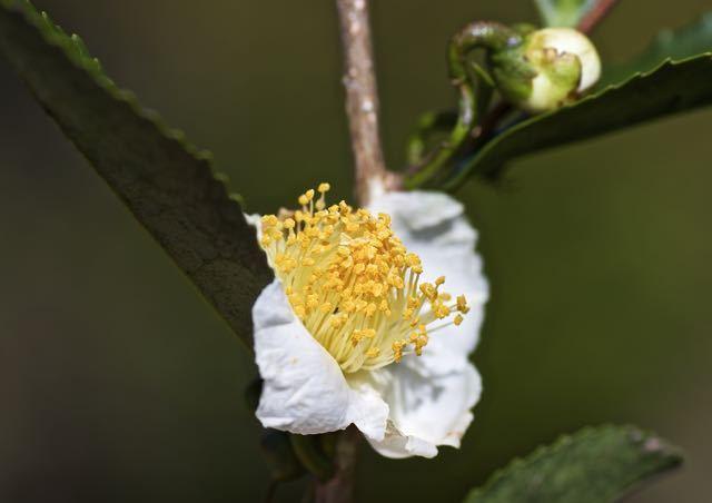 知ってましたか?お茶の木にも花が咲きます