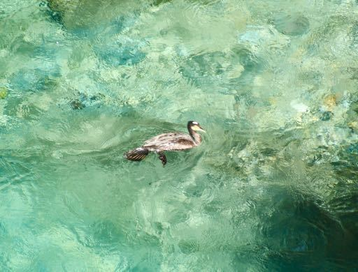 付知峡攻め橋のエメ水に「鵜」現る‼️