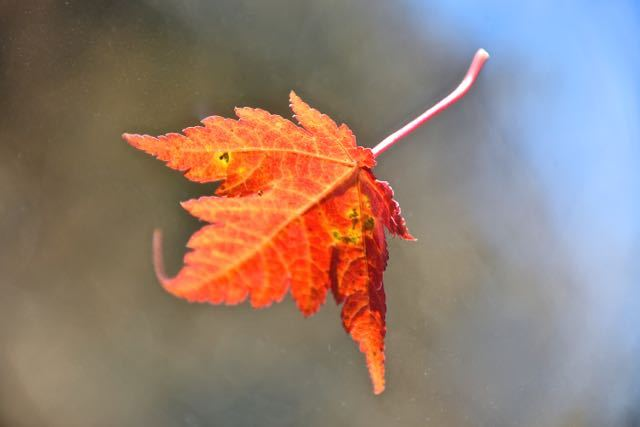 鮮やかな紅 もみじ葉 宙を舞う