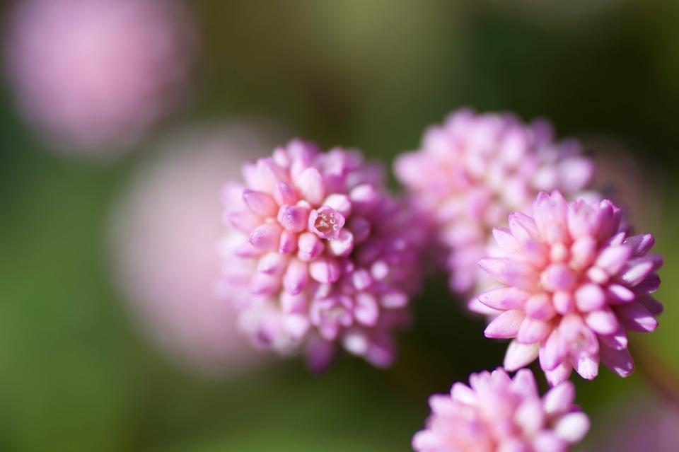 ピンク粒々の可愛いらしい花は姫蔓蕎麦(ヒメツルソバ) border=