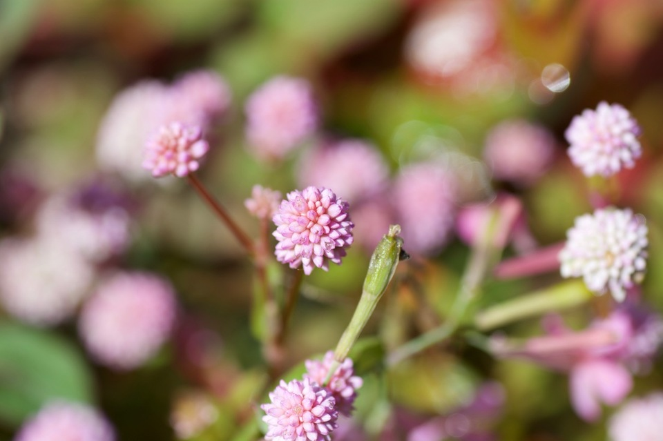 ピンク粒々の可愛いらしい花は姫蔓蕎麦(ヒメツルソバ)