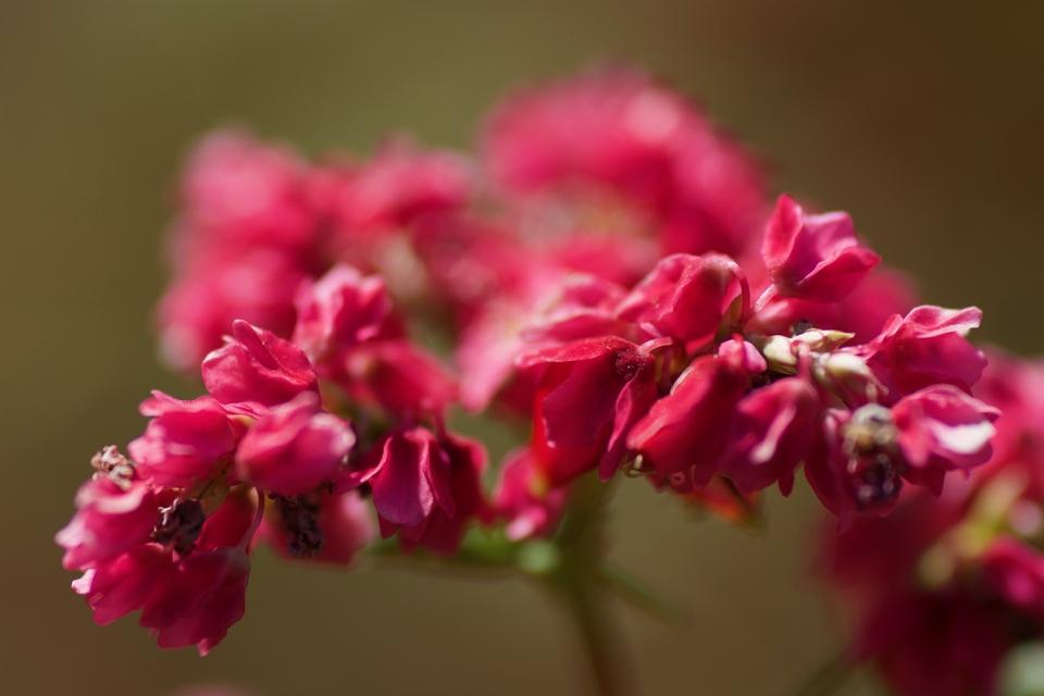 赤蕎麦の花、間も無く満開‼︎