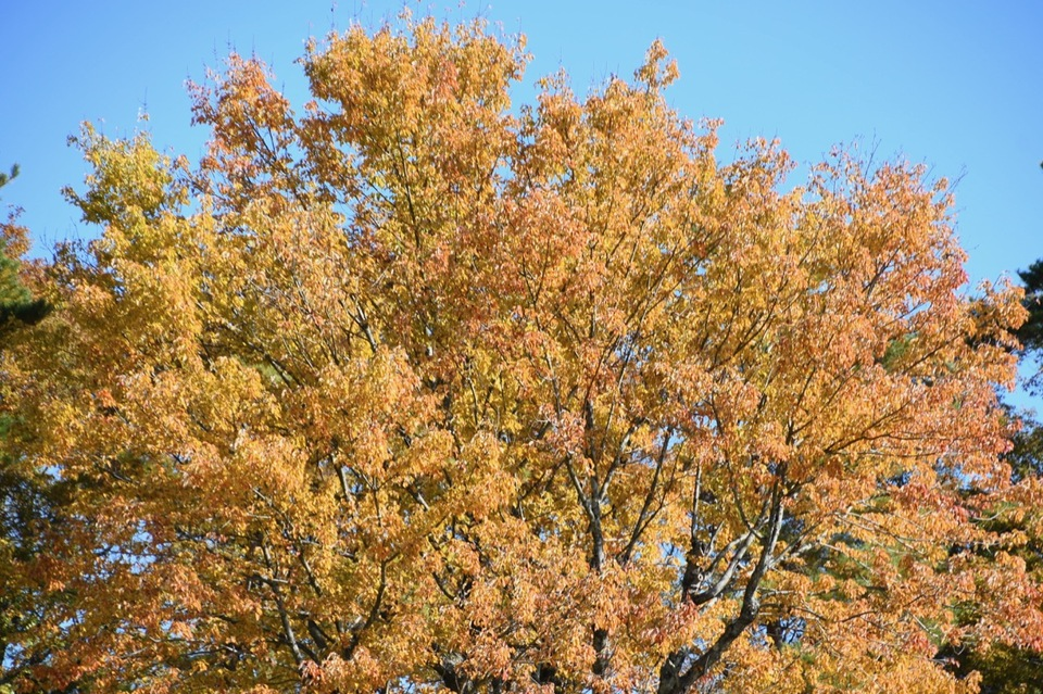 馬籠梵天郷のハナノキの素晴らしき黄葉。別名ハナカエデ(花楓)