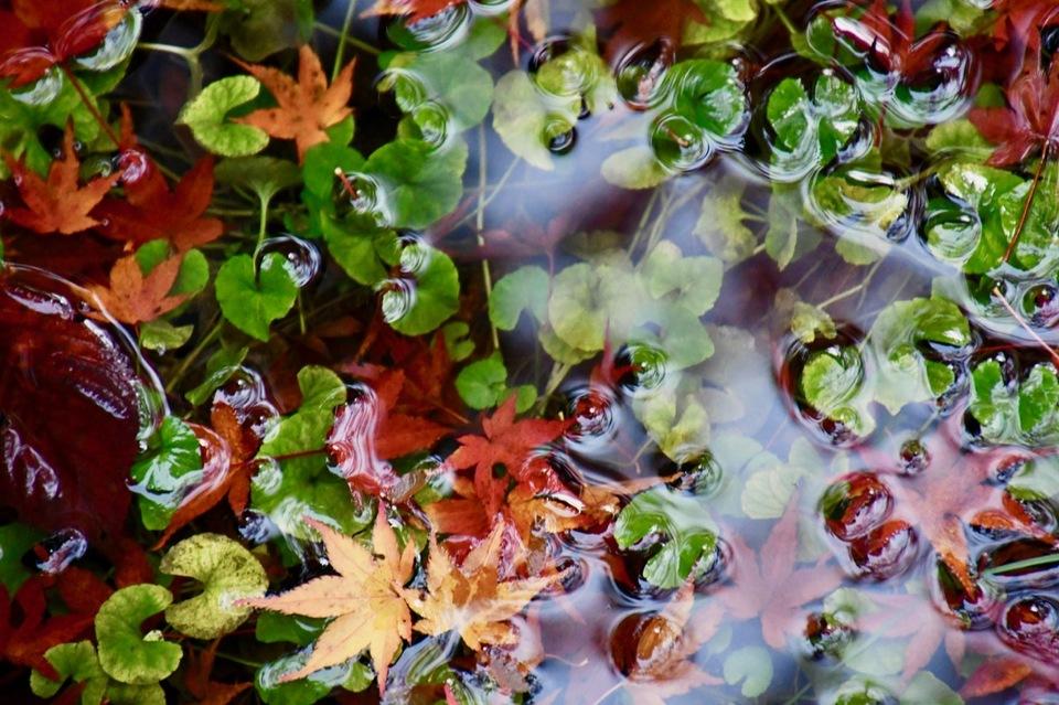 長多喜の古池にモミジの赤と水草の緑。
