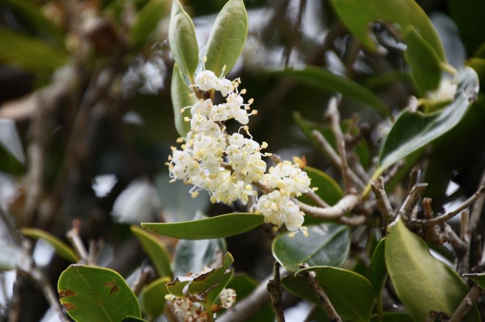 馬籠宿永昌寺の老ヒイラギの花。 border=