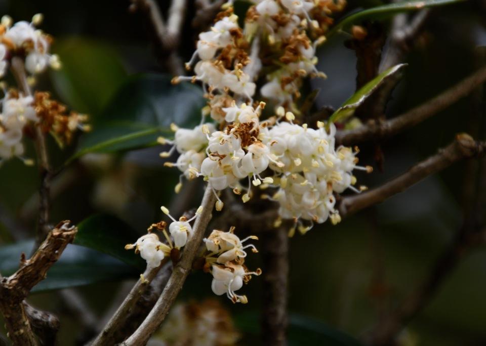 馬籠宿永昌寺の老ヒイラギの花。