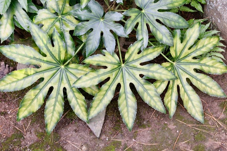 珍しい葉模様のヤツデが長多喜の玄関脇にある。