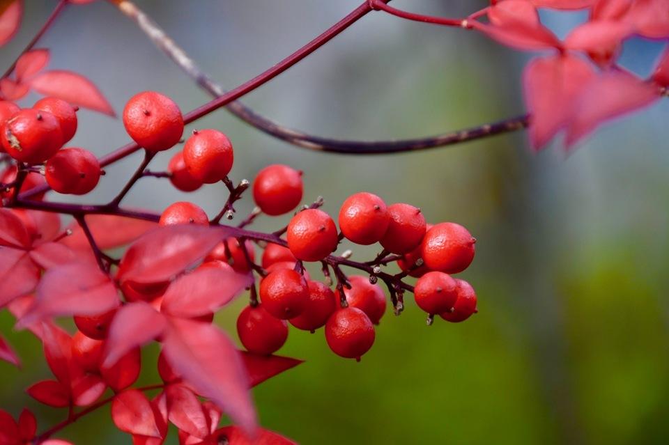 鮮やか紅色、南天の葉と実。