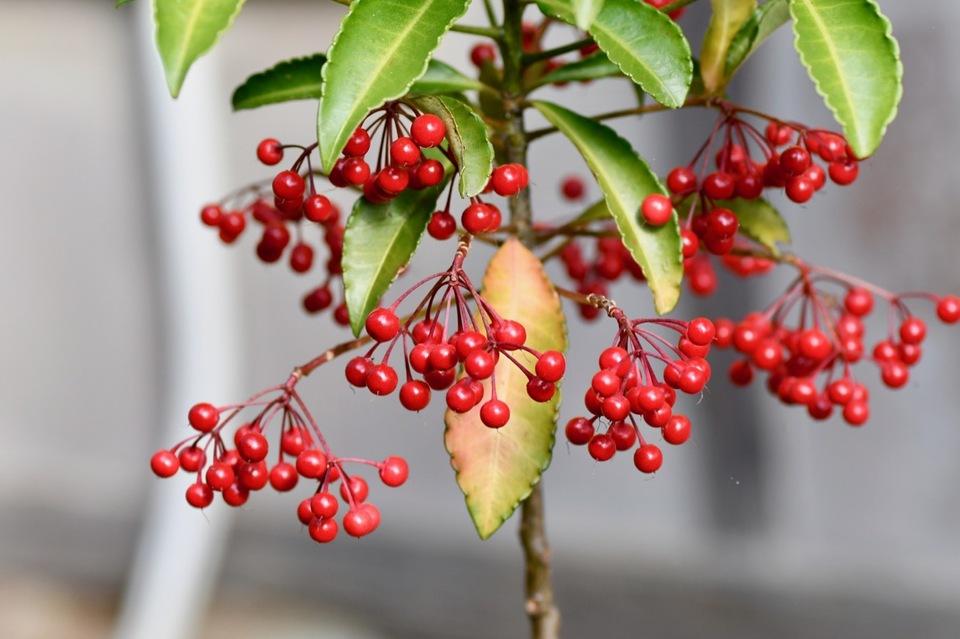 紅葉が終わった長多喜の庭はマンリョウの赤い実が目立ちます。