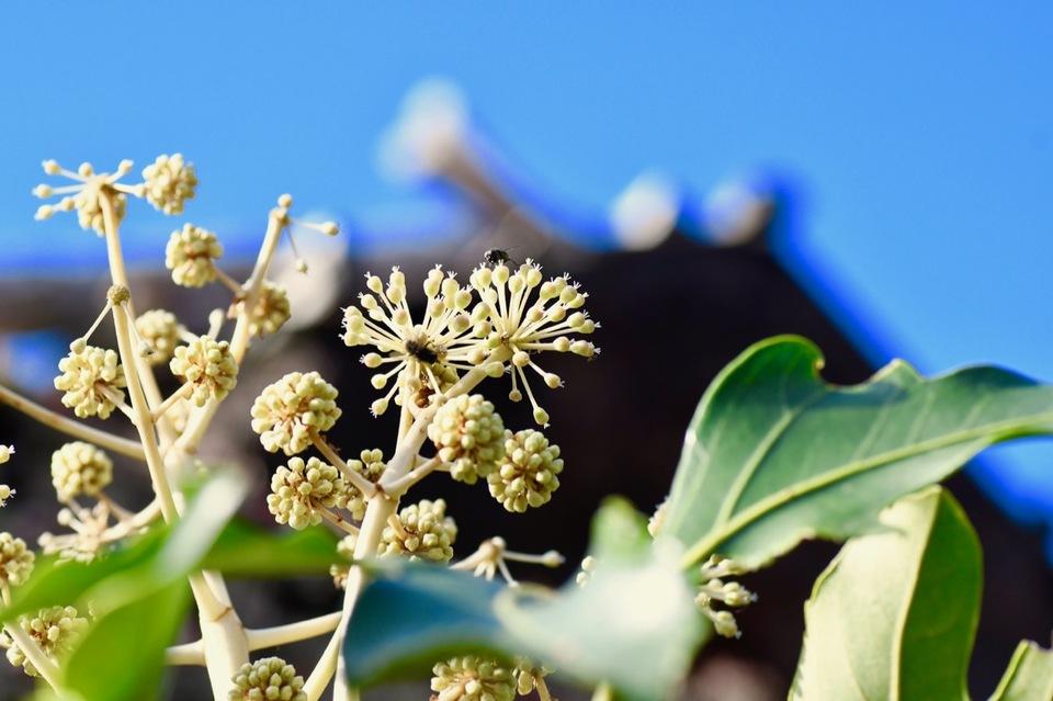 ヤツデの花は冬に咲く。 border=