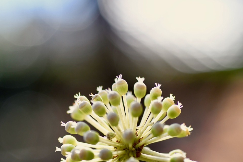 ヤツデの花は冬に咲く。