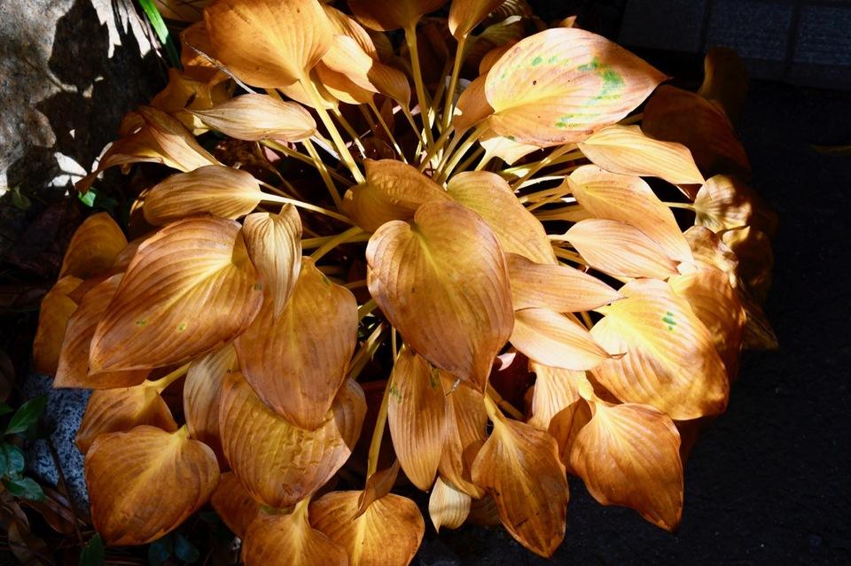 オオバギボウシの黄葉は見事な黄金色。 border=