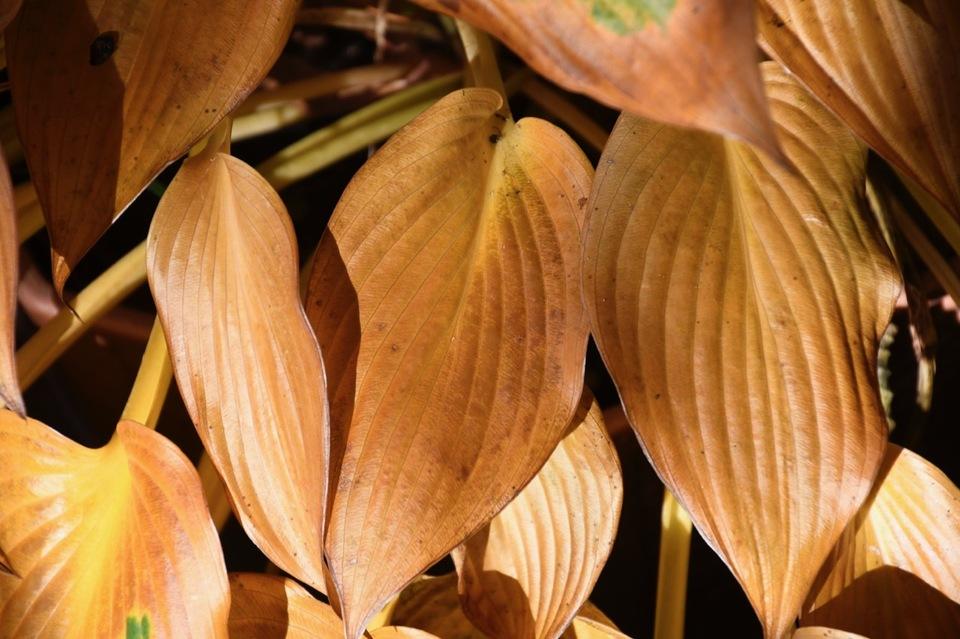 オオバギボウシの黄葉は見事な黄金色。
