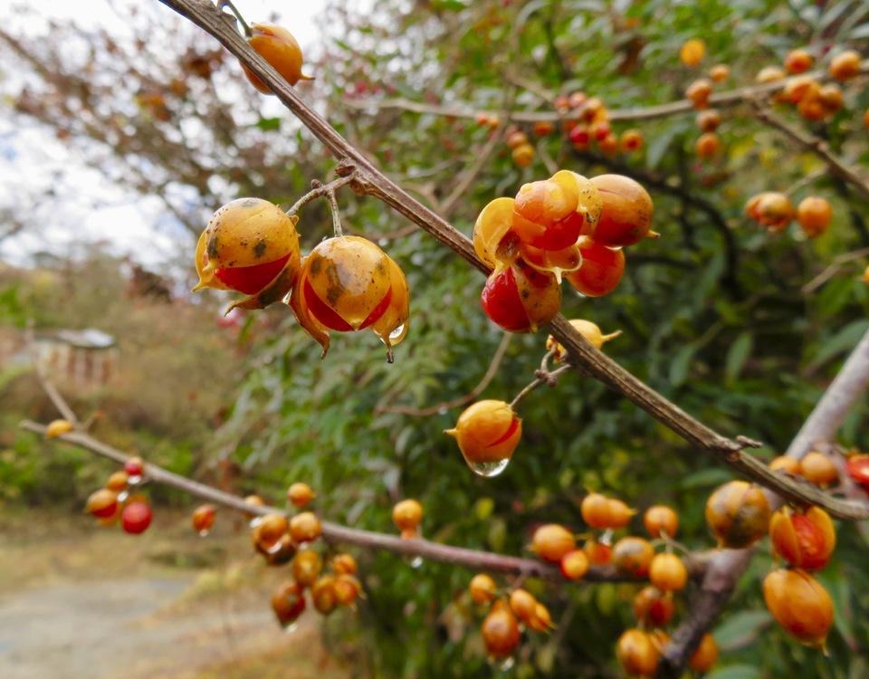 冷たい雨に打たれて♫ ツルウメモドキが赤く熟します。