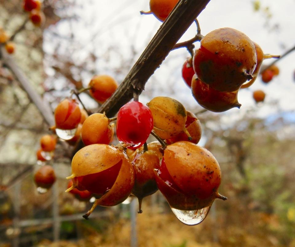 冷たい雨に打たれて♫ ツルウメモドキが赤く熟します。 border=