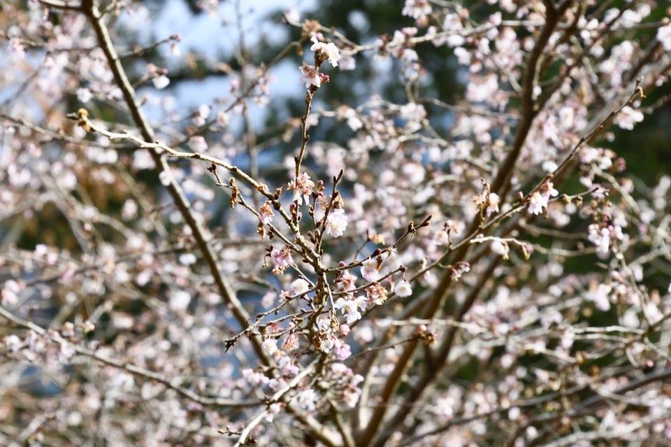 付知峡で冬桜が満開‼︎ border=
