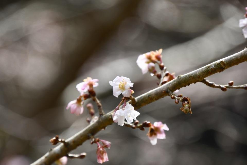 付知峡で冬桜が満開‼︎