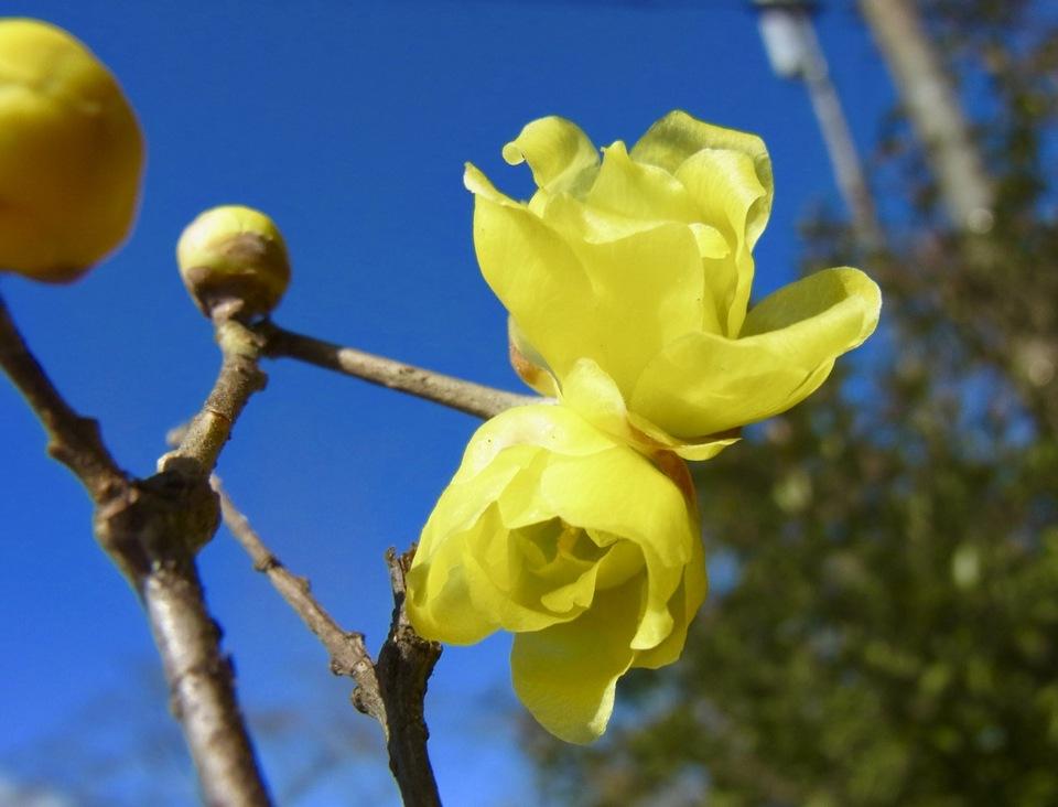 ロウバイは漢字で蝋梅、夜がらす山荘長多喜。